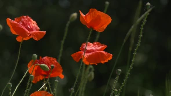 VideoHive Red Poppies Papaver Flowers And Offshots 12175676