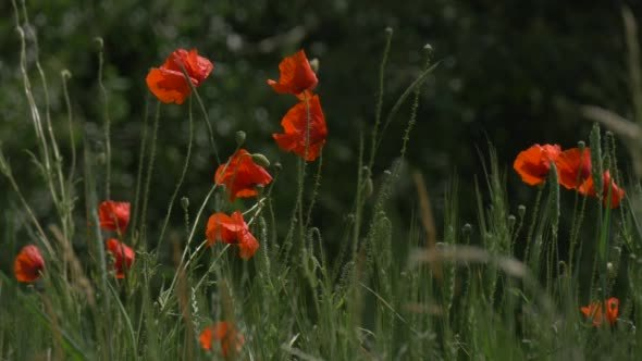 VideoHive Red Poppies Papaver Flowers Field 12176031