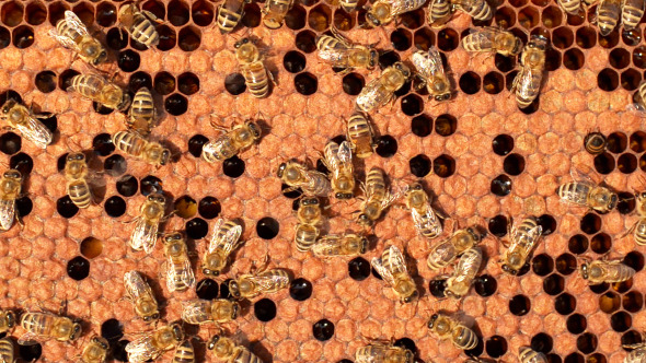 VideoHive Bees 3 12176058