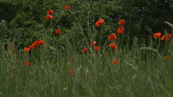 VideoHive Red Poppies Papaver Flowers Field Trees 12176098