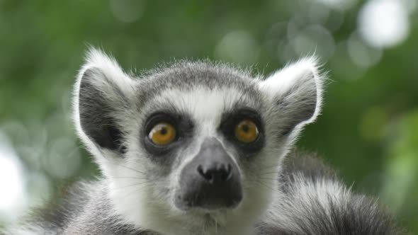 VideoHive Two Lemurs Turning Heads Yellow Eyes 12179686