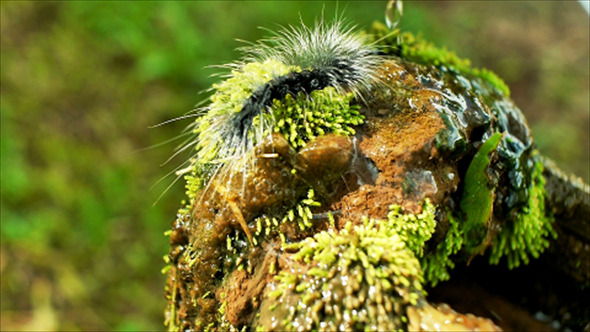 VideoHive Caterpillar Crawling On Wet Moss 12182718
