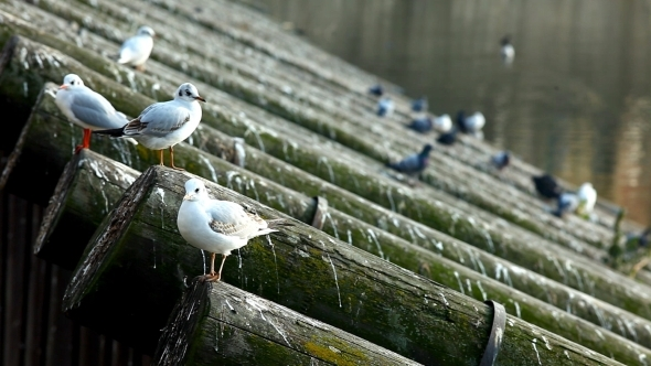 VideoHive Gulls Sit On Bank At Vltava River In Prague 12183262