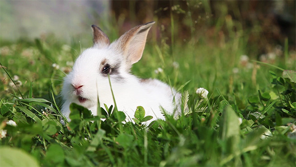 VideoHive White Bunny in a Grass 12183858