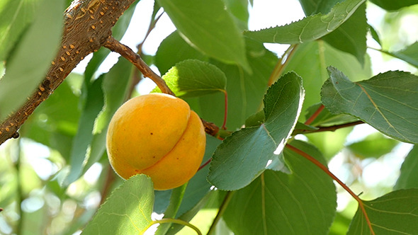 VideoHive Ripe Apricots On Tree Branch Slow Motion 12184618