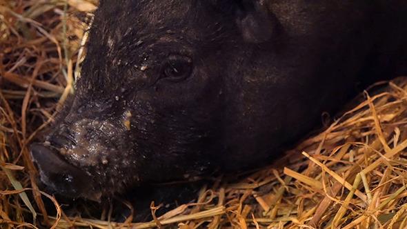 VideoHive Vietnam Black Little Pig In The Barn 12184637