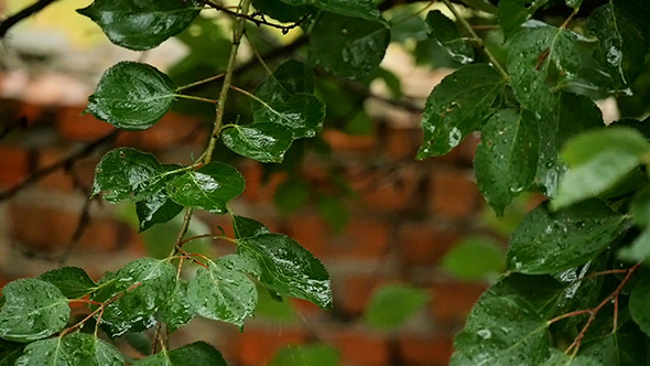 VideoHive Water Drops On Fresh Green Leaves Slow Motion 12184694
