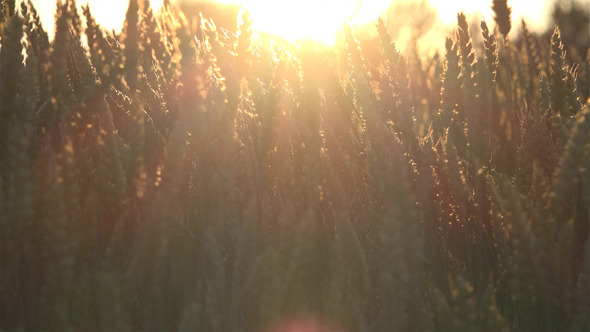 VideoHive Wheat Field 2 12186155