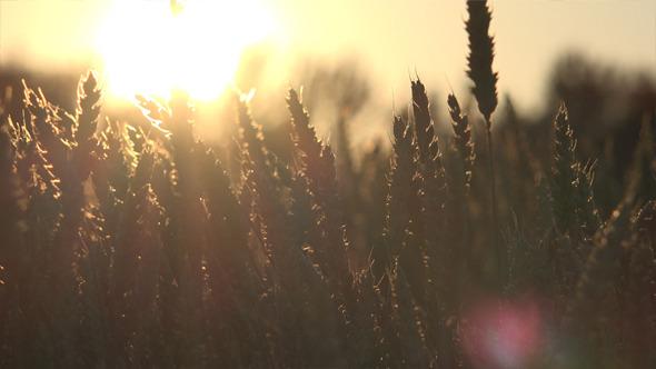 VideoHive Wheat Field 3 12186272