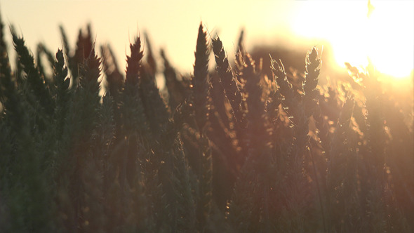 VideoHive Wheat Field 4 12186444