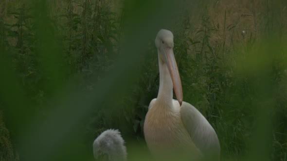 VideoHive Pelecanus Onocrotalus Great White Pelican 12186735