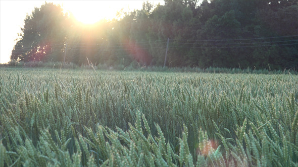 VideoHive Wheat Field 5 12186761