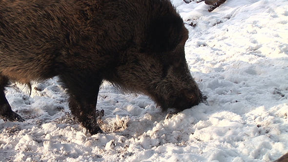VideoHive A Boar Delving The Snow 12187692