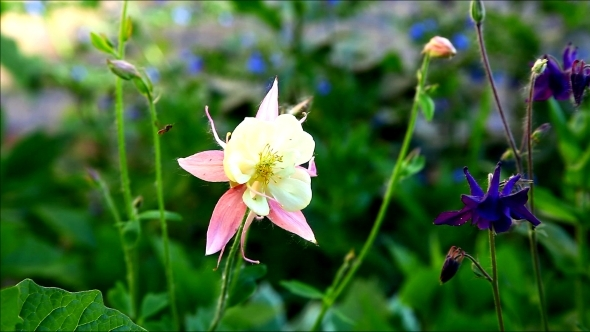 VideoHive Small Rose Campanula At Summer Sunset 12187710