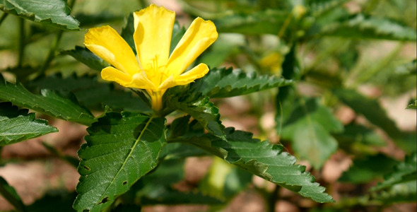 VideoHive Yellow Flower 12188221
