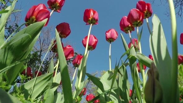 VideoHive Red Tulips in the Spring Garden 12188484