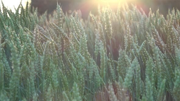 VideoHive Wheat Field 7 12189089