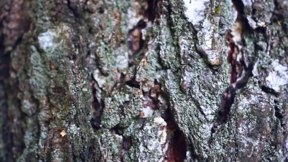 VideoHive Background Birch Bark Texture 12189138