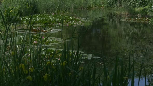 VideoHive Pond Surface with Water Lilies and Yellow Flowers 12189181