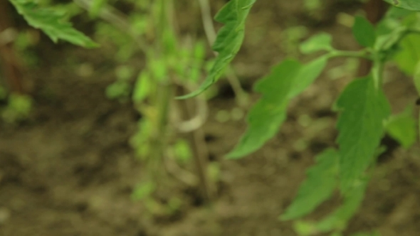 VideoHive Green Tomatoes On Branch 12189275