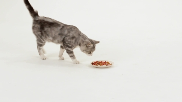VideoHive Cat Eats Tasty Food 12190039