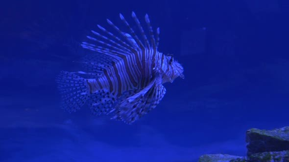 VideoHive Red Lionfish Pterois Volitans Single Striped 12190249