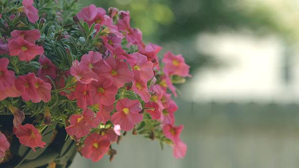 VideoHive Pink Petunia Flowers 12190722