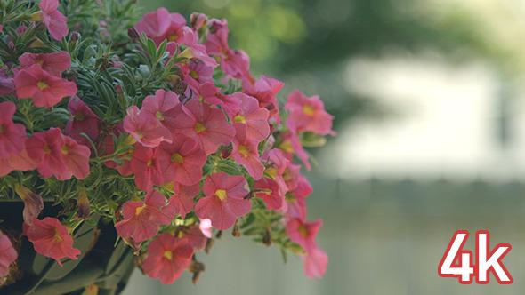 VideoHive Pink Petunia Flowers 12190730
