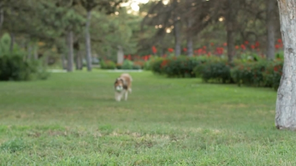 VideoHive Rough-collie Runs 12190736
