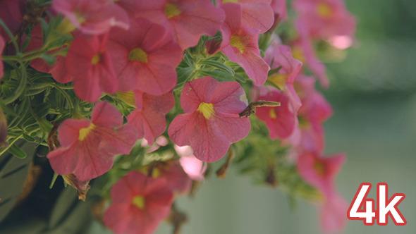 VideoHive Pink Petunia Flowers 12190761