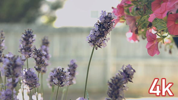 VideoHive Purple Lavender Flowers 12190869