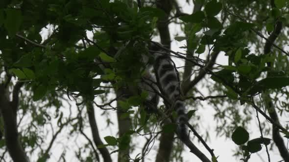VideoHive Two Lemurs Behind the Branch 12190871