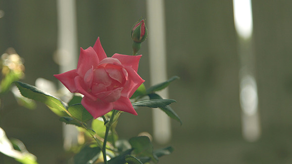 VideoHive Red Rose Flower 12190928