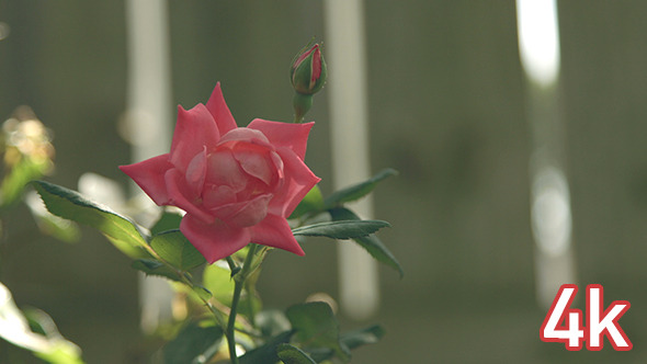 VideoHive Red Rose Flower 12190935