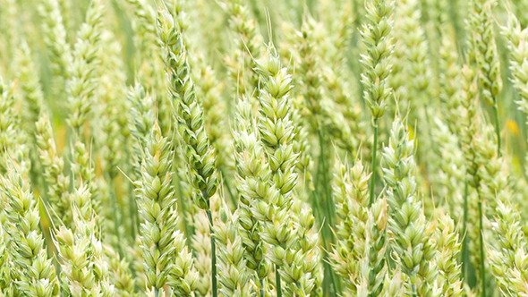 VideoHive Green Wheat Field Background 12193197