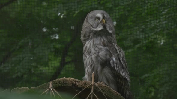 VideoHive Great Grey Owl is Turning Head Cage Grate 12193619
