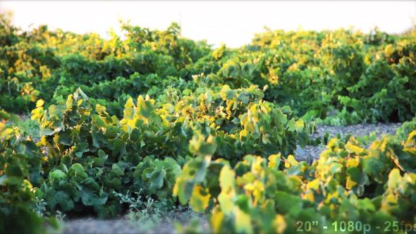 VideoHive Wind on Green Vineyard 12193747