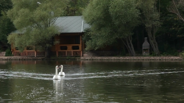 VideoHive Swans In A Lake 12202461