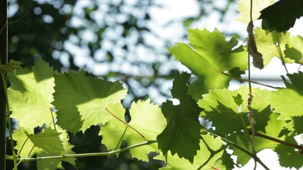 VideoHive Grape Leaves 12206864