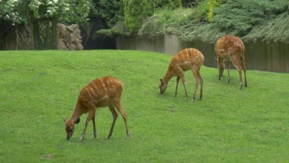 VideoHive Doe Three Female Deers Are Grazing 12211679