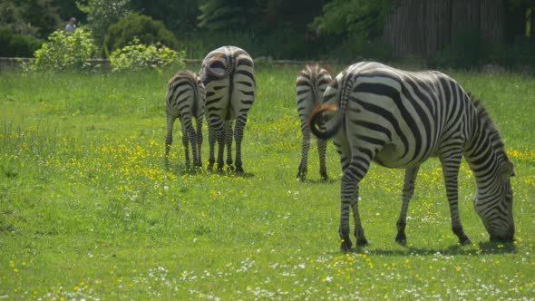VideoHive Four Zebras Through The Meadow Walking Foreward 12213768