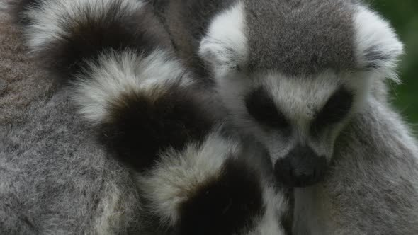 VideoHive Two Lemurs Are Embracing With Tail 12216862