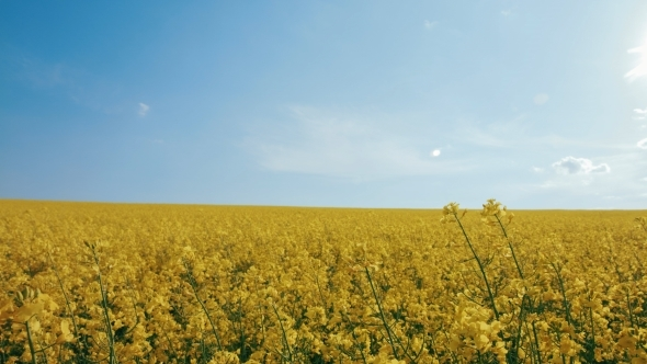 VideoHive Rape Seed Flowers In Field With Blue 12218532