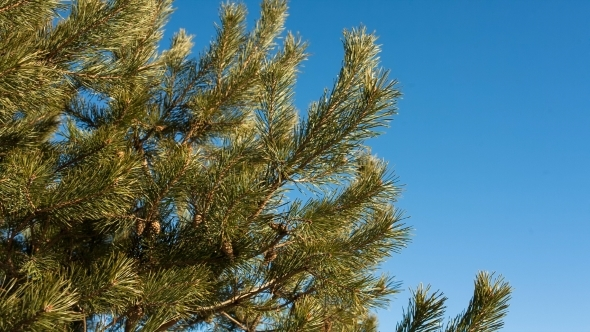 VideoHive Pine Branch With Cones Against Blue Sky In Autumn 12219148