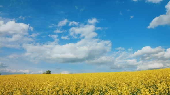 VideoHive Yellow Rapes Flowers And Blue Sky With 12219259