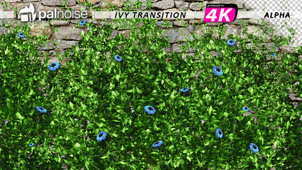 VideoHive Ivy Blue Flowers Growing 12221361