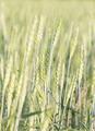 Green barley growing in a field