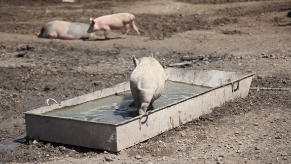 VideoHive Pig Is In A Trough With Water 12223458