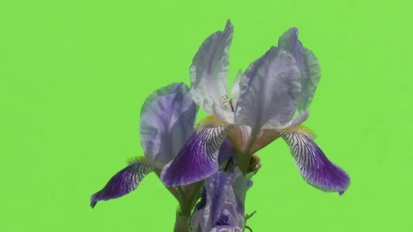 VideoHive Two Violet Irises Blossoms Fluttering 12228823