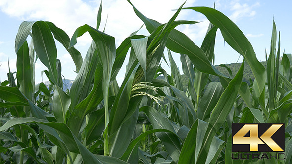 VideoHive Growing Corn Ear 12228853